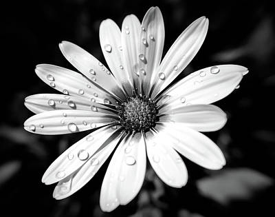 Black And White Yellow Daisy Poster