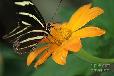 Black And White Zebra Wing Butterfly...   # Poster