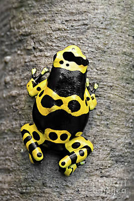 Black And Yellow Poison Dart Frog Poster by Barbara McMahon