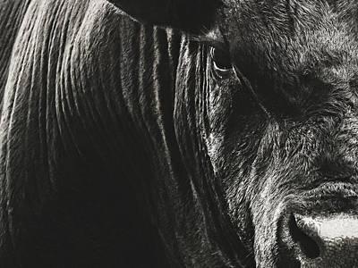 Black Angus Bull Portrait Poster by Debi Bishop