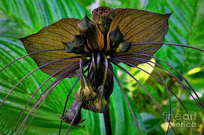 Black Bat Orchid Poster by Sue Melvin