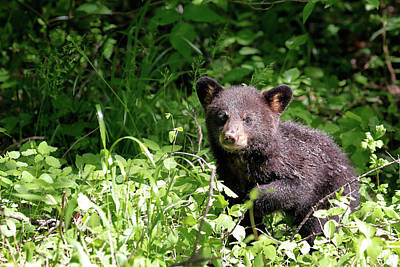 Poster featuring the photograph Black Bear Cub by Nicholas Blackwell