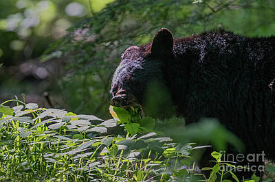 Black Bear Eating Leaves With Mouth Open Showing His Teeth Poster by Dan Friend