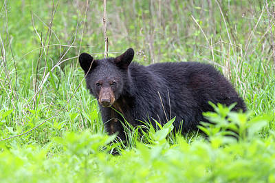 Black Bear In The Wild Poster