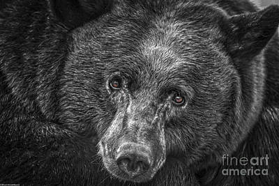 Black Bear Portrait 3 Poster