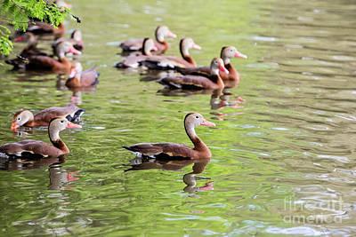 Black Bellied Whistling Duck Poster by Scott Pellegrin