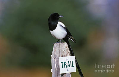Black-billed Magpie Pica Pica Poster by Gerard Lacz