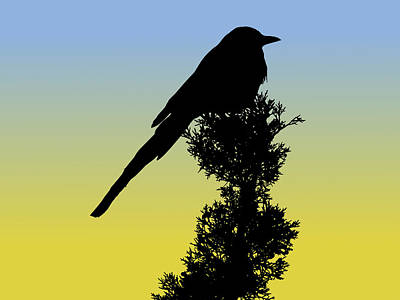 Black-billed Magpie Silhouette At Sunrise Poster