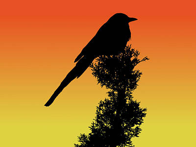 Black-billed Magpie Silhouette At Sunset Poster