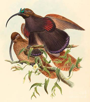 Black-billed Sicklebill Bird Of Paradise Poster by John Gould