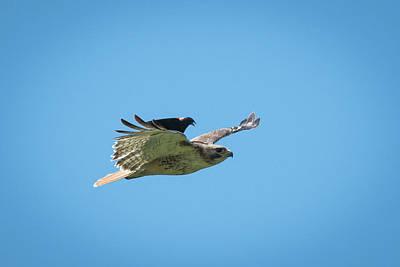 Black Bird Riding Redtail Hawk Poster by Paul Freidlund