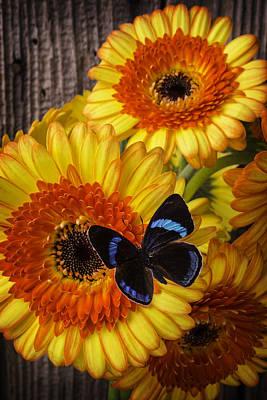 Black Blue Butterfly On Germini Gerbera Poster