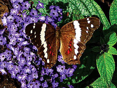 Black Butterfly On Heliotrope Poster