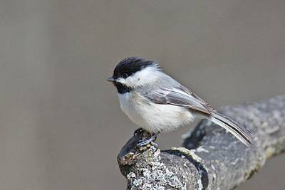 Poster featuring the photograph Black Capped Chickadee 1128 by Michael Peychich