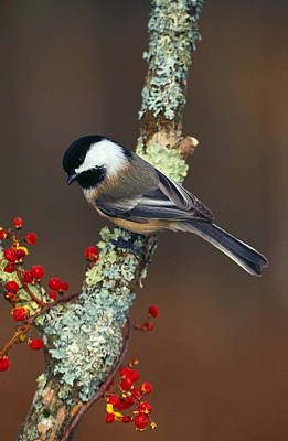 Black-capped Chickadee Bird On Tree Poster by Panoramic Images