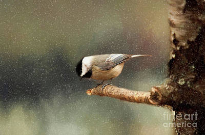Poster featuring the photograph Black Capped Chickadee by Darren Fisher