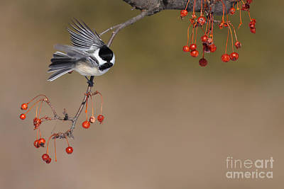 Black-capped Chickadee Poster by Mircea Costina Photography