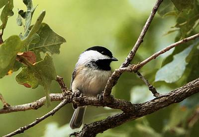 Black Capped Chickadee On Branch Poster