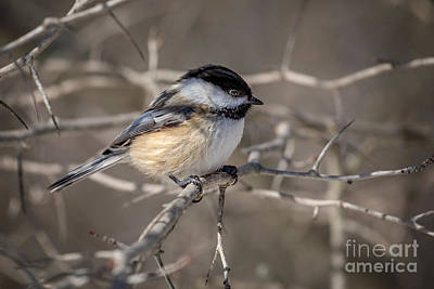 Black-capped Chickadee Iv Poster
