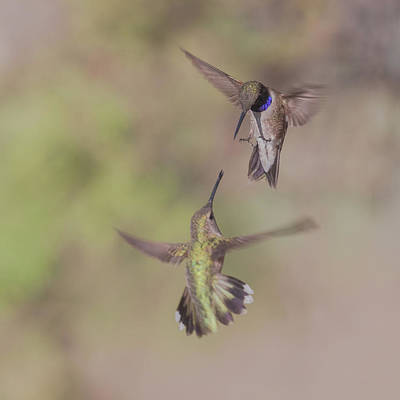 Black-chinned Hummingbirds Poster by Luis A Ramirez