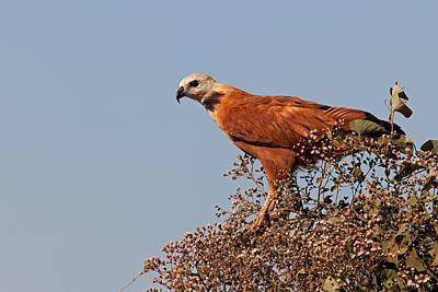 Black-collared Hawk, Pantanal Poster