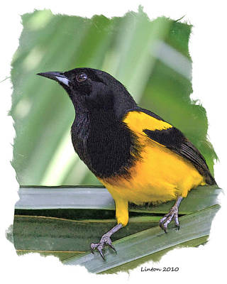 Black-cowled Oriole Poster by Larry Linton
