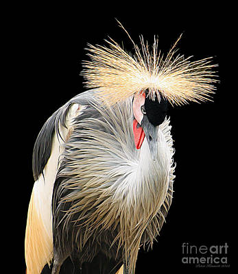 Black Crowned Crane Poster