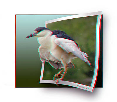 Black Crowned Night Heron - Use Red-cyan 3d Glasses Poster by Brian Wallace