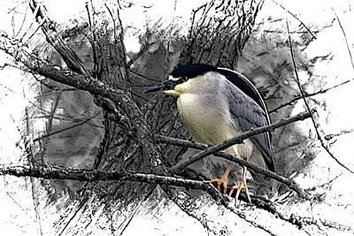 Black Crowned Night Heron 001 Poster