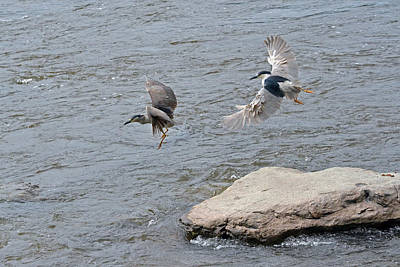 Black-crowned Night-herons In-flight Over The River Poster