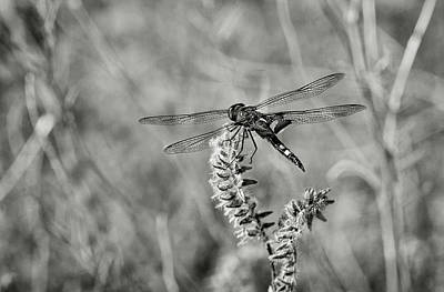 Black Dragonfly Bw Poster