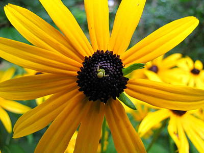 Poster featuring the photograph Black-eyed Susan And A Traveler by Lori Miller