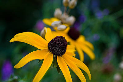 Poster featuring the photograph Black Eyed Susan Daisy by Gary Smith