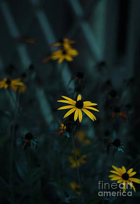 Black Eyed Susan Poster by Jasna Buncic