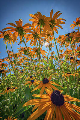 Black-eyed-susans Bask In The Sun Poster