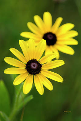 Black Eyed Susans Poster by Christina Rollo