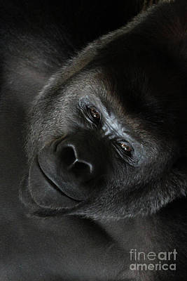 Black Gorilla Smile Poster