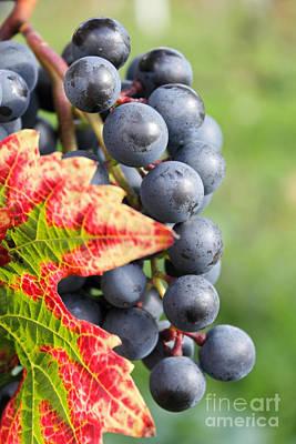 Black Grapes On The Vine Poster