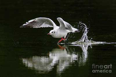 Black-headed Gull Chroicocephalus Ridibundus In Winter Plumage Poster