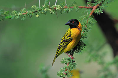 Black-headed Weaver Poster