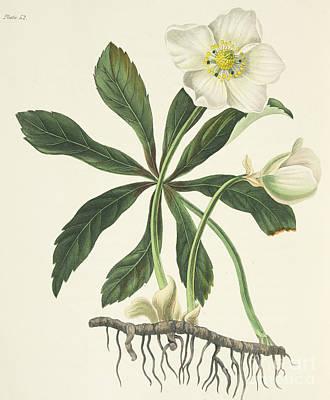 Black Hellebore Or Christmas Rose Poster
