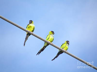 Poster featuring the photograph Black Hooded Parakeet Trio by Terri Mills
