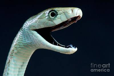 Black Mamba Poster by Reptiles4all