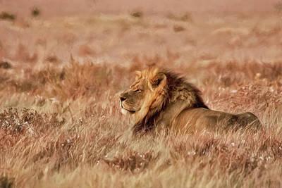 Black-maned Lion Of The Kalahari Waiting Poster