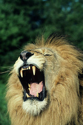 Black-maned Male African Lion Yawning, Headshot, Africa Poster