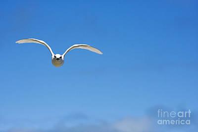 Black-naped Tern Poster