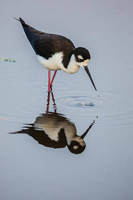Black-necked Stilt Reflection Poster