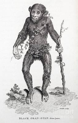 Black Oran Otan Chimpanzee, Tyson Poster by Paul D. Stewart