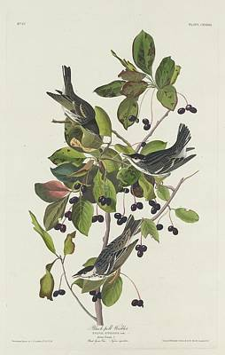 Black-pool Warbler Poster