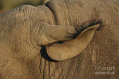 Black Rhinoceros Ear Poster